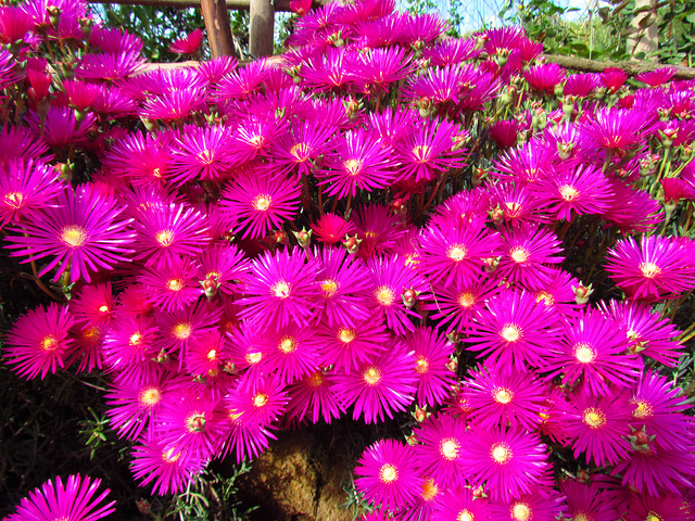 Rayito de sol planta imagui - Flores que aguantan el sol ...